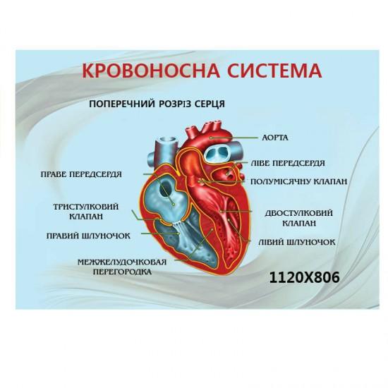 Стенд Біологія кровоносна система