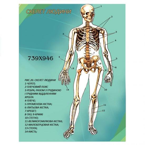 Стенд Біологія Скелет людини
